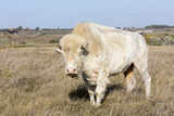 Female Albino Buffalo  White Cloud  Jamestown  North Dakota  USA