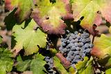 Purple Wine Grapes on the Vine  Napa Valley  California  USA