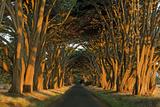 Cypress Trees  Point Reyes National Seashore  California  USA