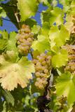 White Wine Grapes on Vine  Napa Valley  California  USA