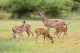 White-Tailed Deer (Odocoileus Virginianus) Doe with Fawns, Texas, USA Papier Photo par Larry Ditto