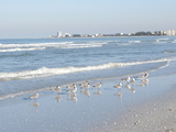 Laughing Gulls Along Crescent Beach  Sarasota  Florida  USA