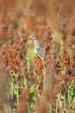 White-Winged Dove (Zenaida Asiatica) Perched on Sorghum  Texas  USA