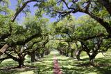 300-Year-Old Oak Trees  Vacherie  New Orleans  Louisiana  USA