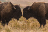 Two Bison Face-To-Face  Custer State Park  South Dakota  USA