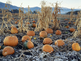 Fall Vegetables in Frosty Field  Great Basin  Cache Valley  Utah  USA
