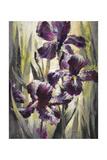 Ambient Iris 1