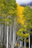 Aspens (Populus Tremuloides)  Autumn  Sevier Plateau  Utah  USA