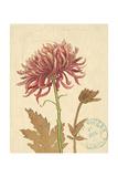 Chrysanthemum Curiosity