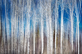Birches in Spring Papier Photo par Ursula Abresch