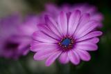 Pâquerettes violettes Papier Photo par Ursula Abresch