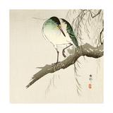 Green Heron on Branch