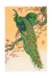 Peacock and Peahen on Branch