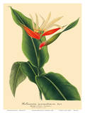Heliconian (Aurantiaca) - Book Plate from L' Illustration Horticole Vol 9