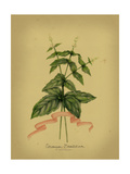 Herb Series IV