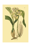 Ridgeway Orchids II