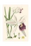 Mini Delicate Orchid II