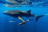 A School of Suckerfish, Sharksuckers and Cobia Follow a Whale Shark Papier Photo par Jason Edwards