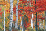 Sugar Maple, Acer Saccharum, and White Birch Trees, Betula Papyrifera, in Brilliant Autumn Hues Papier Photo par Ira Meyer