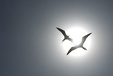 Magnificent Frigatebirds in Flight over Isla Iguana