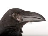 A Pied Crow  Corvus Albus  at Zoo Atlanta