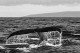 Black and White Photo of a Humpback Whale's Tail Papier Photo par Ralph Lee Hopkins