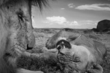 An adult male lion  C-Boy  and a Vumbi female relax between matings