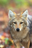Close Up Portrait of a Coyote Pup  Canis Latrans  in Autumn Leaves