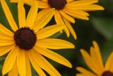 Black-Eyed Susans  the State Flower of Maryland