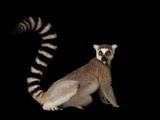 A Ring-Tailed Lemur  Lemur Catta  at the Lincoln Children's Zoo