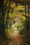 A Path Through a Forest Covered by Fallen Leaves in Autumn Papier Photo par Robbie George