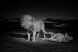 An Adult Male Lion  Hildur  and a Vumbi Female Rest after Mating