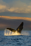 A Humpback Whale Breaches in the Pacific Ocean