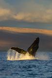 A Humpback Whale Breaches in the Pacific Ocean Papier Photo par Ralph Lee Hopkins
