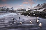 King Penguins Along the Shore at Gold Harbour on South Georgia Island Papier Photo par Michael Melford