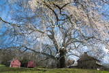A Giant Sycamore Tree at the Brandywine Battlefield Historic Site Papier Photo par Michael Melford