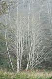 Birch Trees in Fog