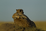 A Juvenile Cheetah  Acinonyx Jubatus  Lies Draped over the Side of its Mother on a Dirt Mound