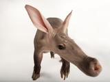 A Portrait of an Aardvark  Orycteropus Afer
