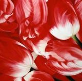 Most Beautiful Tulip III