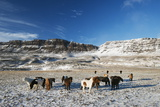 Icelandic Horses  Iceland  Polar Regions