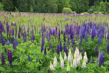 Field of Wild Lupines  Tacoma  Washington State  United States of America  North America
