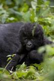 Young Mountain Gorilla (Gorilla Gorilla Beringei)  Kongo  Rwanda  Africa