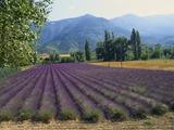 Lavender Field  Plateau De Sault  Provence  France