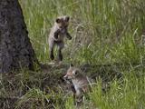 Red Fox (Vulpes Vulpes) (Vulpes Fulva) Kit Pouncing on its Sibling