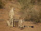 Cheetah (Acinonyx Jubatus) Siblings