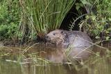 Eurasian Beaver (Castor Fiber), Captive in Breeding Programme, United Kingdom, Europe Papier Photo par Ann And Steve Toon
