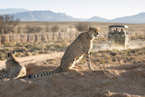 Safari Jeep Leaving Cheetahs (Acinonyx Jubatus) on Game Drive
