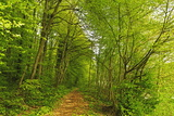 Beech Forest  Altmuehl Valley  Bavaria  Germany  Europe