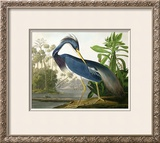 "Louisiana Heron from ""Birds of America"""